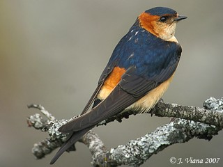 Red-rumped Swallow Hirundo daurica in spring, its ...